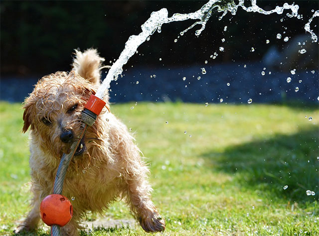 Dog playing with the garden hose